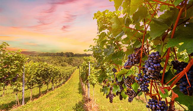 Oregon wine vineyard during sunset