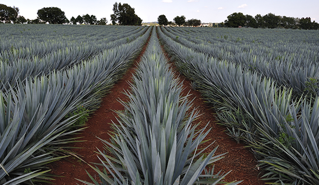 Field of agave